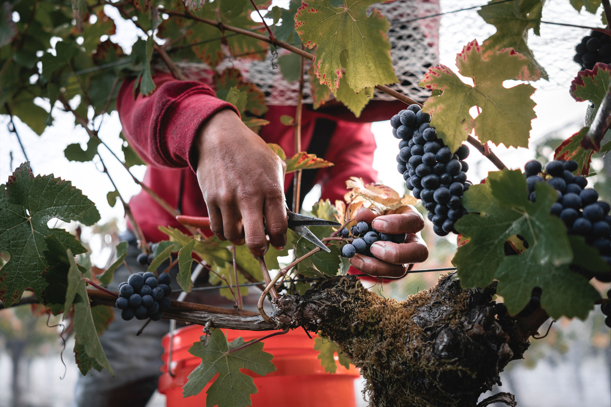 Worker picking grapes